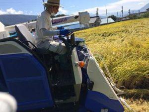 ピロール米収穫